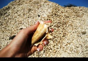 Hitta hela stora vita snäckor, Kap Verde – Sal