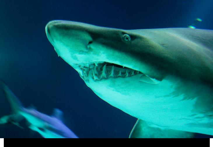 Hajar på Rifes da Parda /  Baia da Parda, Kap Verde öarna & Sal. Se haj i sin naturliga miljö direkt från land.