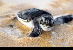 Loggerhead sköldpaddor & ägg på Kap Verde & Sal