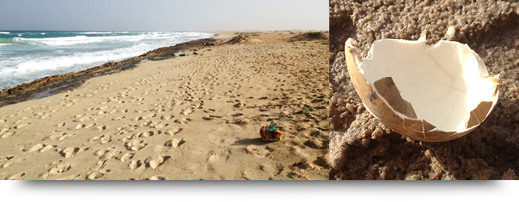 Info and facts about Cape Verde islands and loggerhead turtles nesting and laying their eggs on Sal, Boa Vista & Santiago.